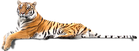 tiger lounging